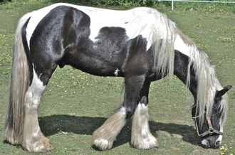 Irish Mid-Weight Draft Horse